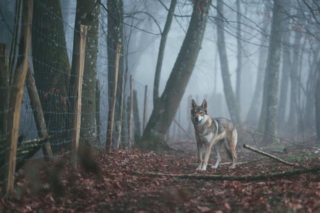 داستان انگلیسی مرد گرگی با ترجمه